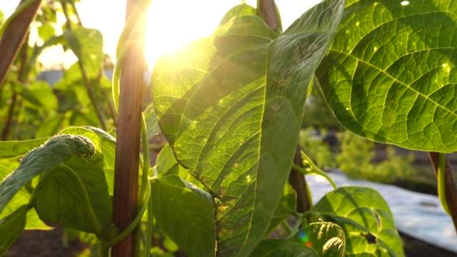 Kindney bean grow in summer