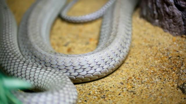 King cobra slither video