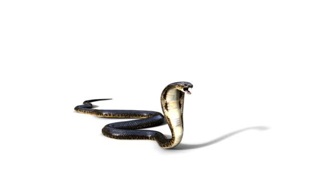 King Cobra Snake video