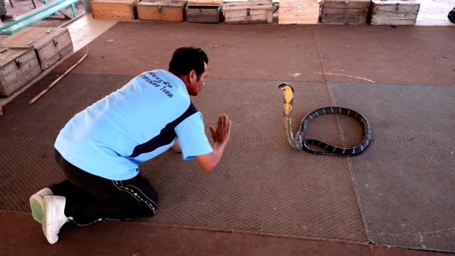 king cobra  poisonous stock videos & royalty-free footage