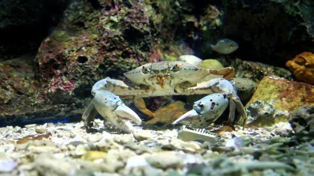 king Crab Walks HD1080p king Crab Walks pinching stock videos & royalty-free footage