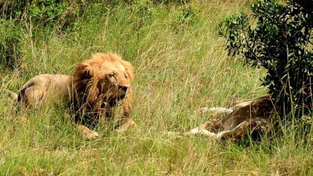 Lion avec très grand lit - Vidéo