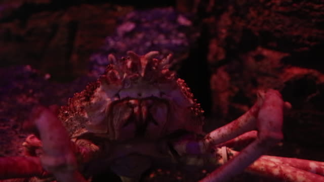 king of crab spider crab in aquarium