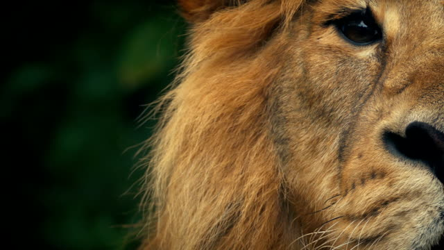 King Of The Jungle Lion Looks Up video