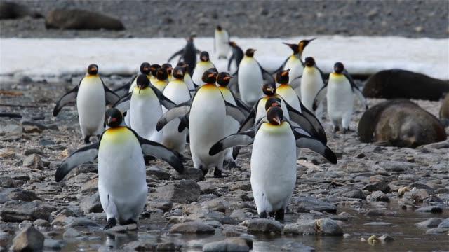 king penguin colony on south georgia - pingwin filmów i materiałów b-roll