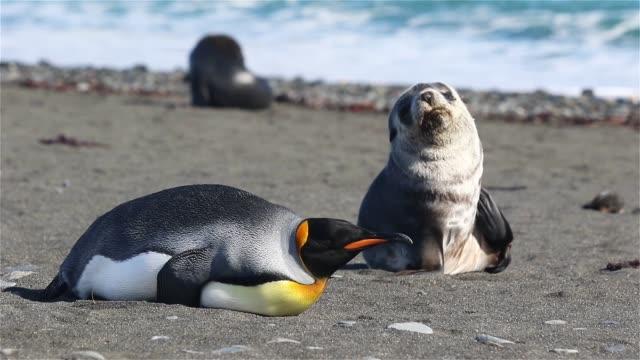 kung pingvin på sydgeorgien - djurfamilj bildbanksvideor och videomaterial från bakom kulisserna