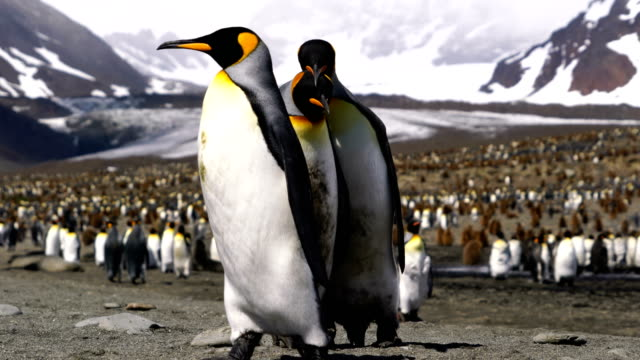 king penguin - antarctica travel stock videos & royalty-free footage