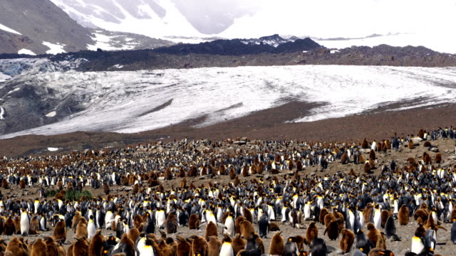 pingwin królewski - pingwin filmów i materiałów b-roll