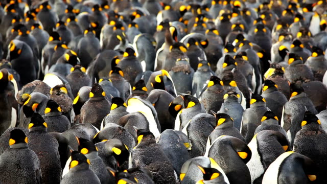 King Penguins Colon Large King Penguins Colony on South Georgia Island. group of animals stock videos & royalty-free footage