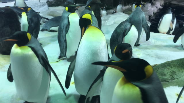 King penguins colony - video