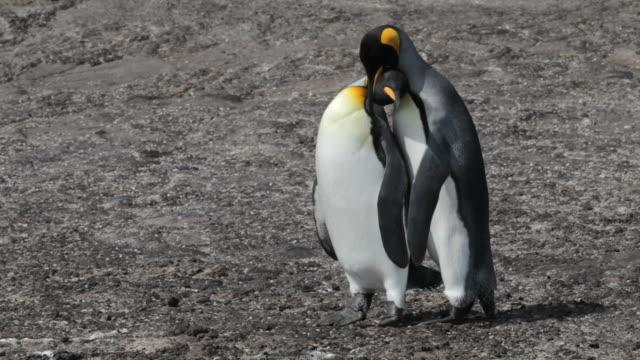 king pingwinami, falklandy (malwiny) - zachowanie zwierzęcia filmów i materiałów b-roll
