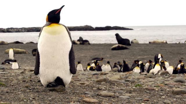 pingwiny królewskie w georgii południowej - pingwin filmów i materiałów b-roll