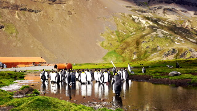 King penguins in Stromness Bay, South Georgia King penguins in Stromness Bay, South Georgia grytviken stock videos & royalty-free footage