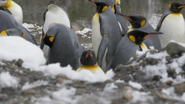 king penguins near water's edge - fianco a fianco video stock e b–roll
