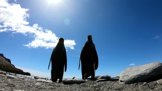 king penguins on salisbury plains - pingwin filmów i materiałów b-roll