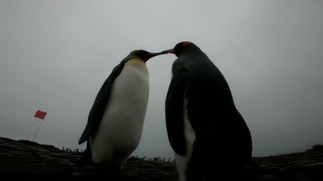 ソールズベリー平原のキング ペンギン ビデオ