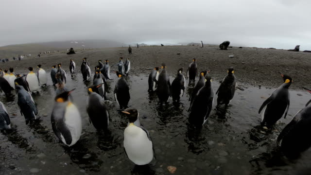 king penguins on salisbury plains - antarctica travel stock videos & royalty-free footage