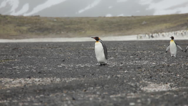 King Penguins On South Georgia Island King Penguins on South Georgia Island south georgia and the south sandwich islands stock videos & royalty-free footage