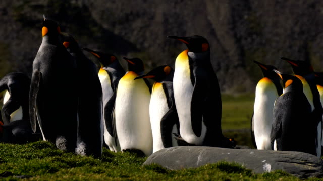 King Penguins King Penguins south georgia and the south sandwich islands stock videos & royalty-free footage