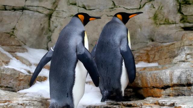 vídeos de stock e filmes b-roll de rei penguins - dia de reis