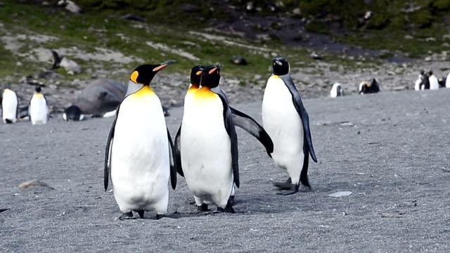 king penguins walking on beach shingle at St. Andrew's Bay video