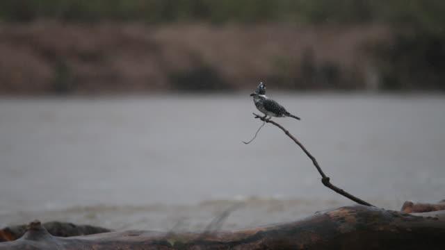 kingfisher kuş: yetişkin kadın tepeli yalıçapkını (megaceryle lugubris) - meme hayvan vücudu bölümleri stok videoları ve detay görüntü çekimi