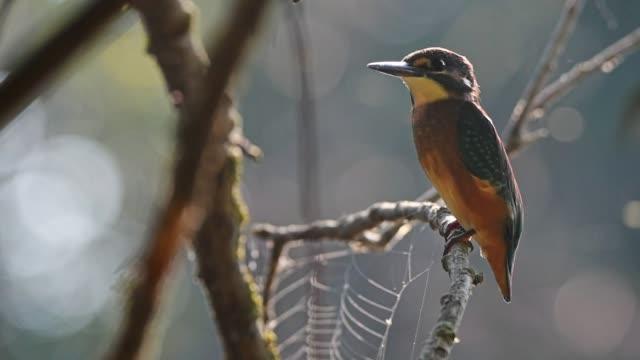 eisvogel oder alcedo atthis sitzstangen auf ast - endemisch stock-videos und b-roll-filmmaterial