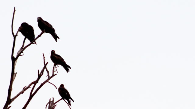 Kite birds sitting on bare tree branch with side copy space 4K Video : Large flock of kite birds relaxing on treetop during day time with side copy space in Indore, India. A kite is lightly built, with a small head, partly bare face, short beak, and long narrow wings and tail. Kites occur worldwide in warm regions. bird of prey stock videos & royalty-free footage