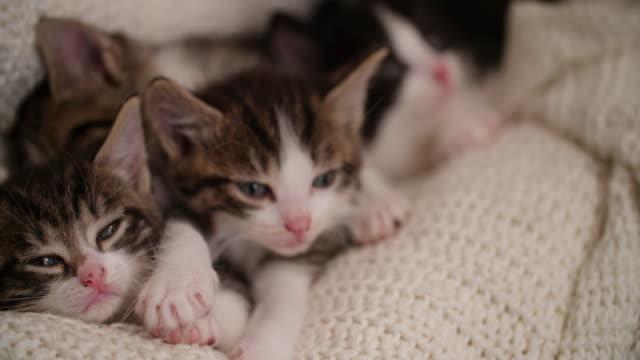 Kitten amongst it's siblings in a warm blanket video