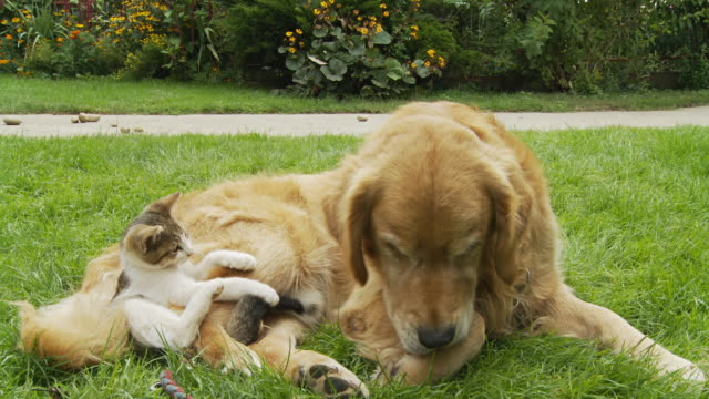 HD: Kitten And Dog In The Grass video