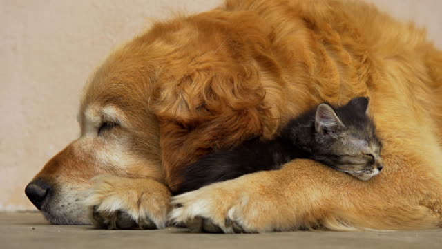 hd: kitten and dog sleeping together - kattdjur bildbanksvideor och videomaterial från bakom kulisserna
