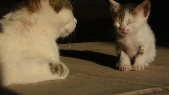 kattunge och hans mor - djurfamilj bildbanksvideor och videomaterial från bakom kulisserna