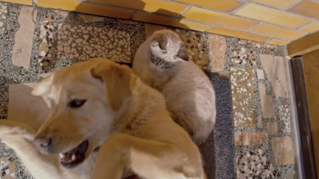 Kitten and puppy playing together video