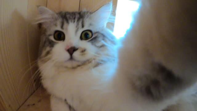 kattunge katt selfie porträtt med smartphone kamera - katt inomhus bildbanksvideor och videomaterial från bakom kulisserna