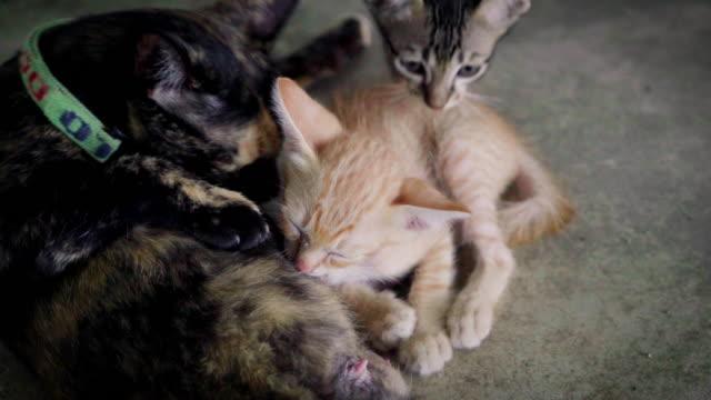 Kitten cat Kitten cat shorthair cat stock videos & royalty-free footage