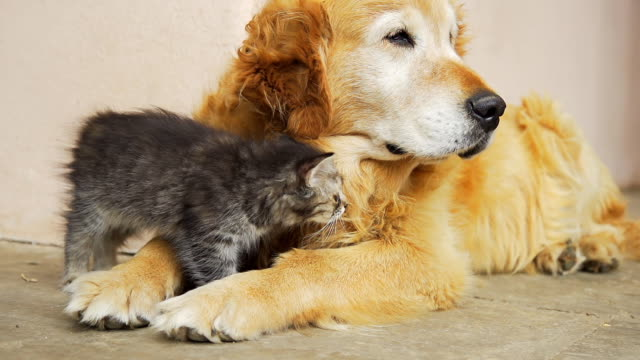 HD SUPER SLOW-MO: Kitten Cuddling With A Dog video