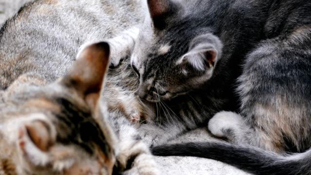 kattunge dricka mjölk från katt-mamma - djurfamilj bildbanksvideor och videomaterial från bakom kulisserna