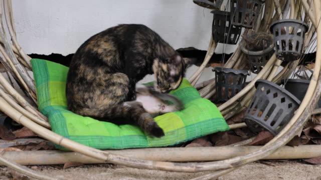 kitten drinking milk - bassino video stock e b–roll