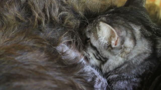 Kitten eating milk video