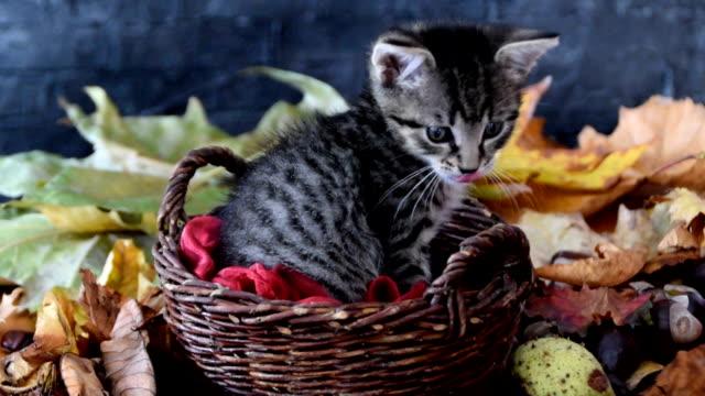 秋の葉に囲まれた芯のかごの中の子猫 - 籠点の映像素材/bロール