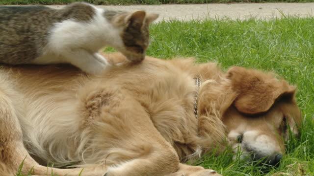 hd dolly: kociak zagniatać dog's tyłu - leżeć filmów i materiałów b-roll