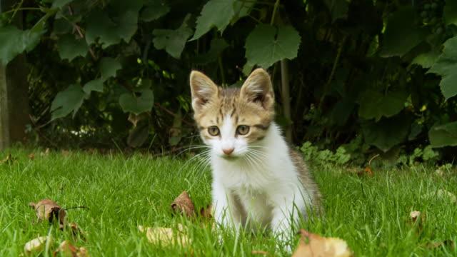 hd :キトンで遊ぶ芝生 - 子猫点の映像素材/bロール