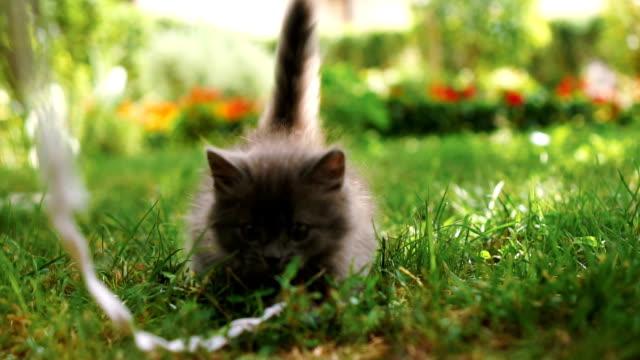 vídeos y material grabado en eventos de stock de gatito jugando en la hierba - gato doméstico