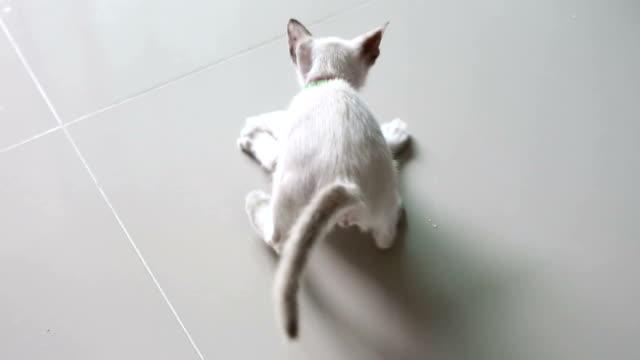 Kitten playing toy. video