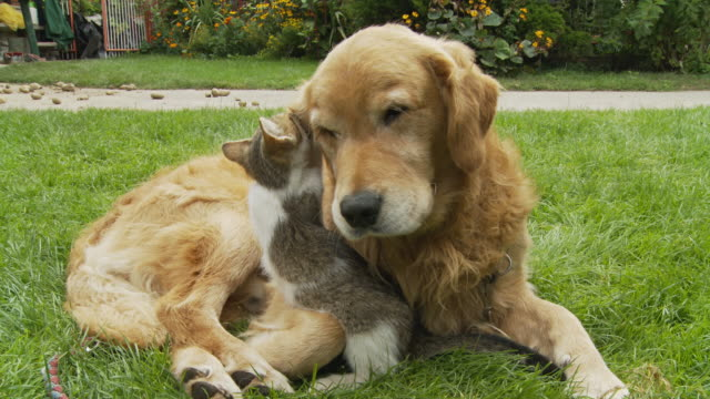 stockvideo's en b-roll-footage met hd: kitten playing with dog's ear - kitten