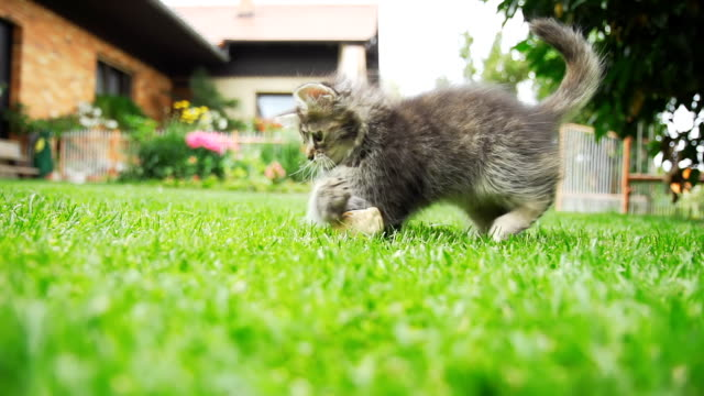 HD SUPER SLOW-MO: Kitten Running In The Grass HD1080p: SUPER SLOW MOTION shot of a cute little kitten running after a toy in the grass in the backyard. kitten stock videos & royalty-free footage
