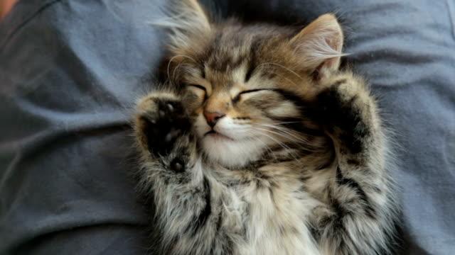 kitten sleeping on woman's lap - kociak filmów i materiałów b-roll