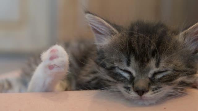 Kitten sleeps in hands