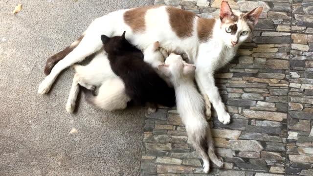 anne kedi süt emme yavru kedi - meme hayvan vücudu bölümleri stok videoları ve detay görüntü çekimi