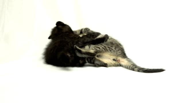kitten kitten(Playful) wrestling stock videos & royalty-free footage
